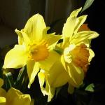 Narcissuses I.jpg
